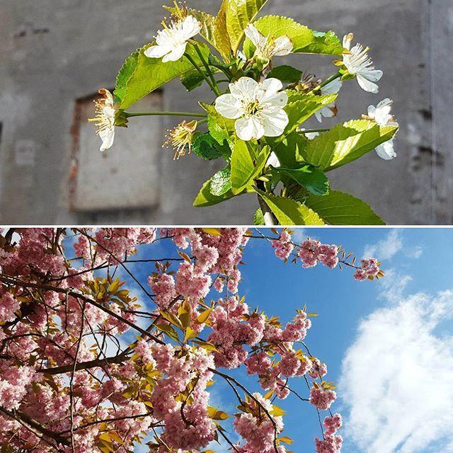 Blüten in der Neustadt Bremen Rhabarberkuchen