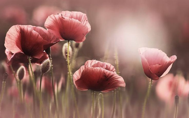 Dark red poppies, dim light, drifting through the flower field *