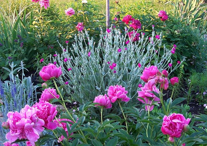 Peonies And Rose Campion Companion Planting Pinterest 400 x 300