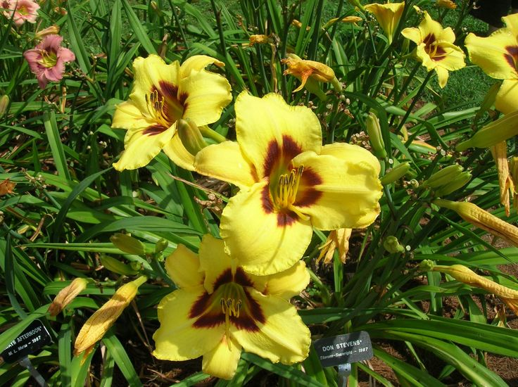 how to grow lilies in qld