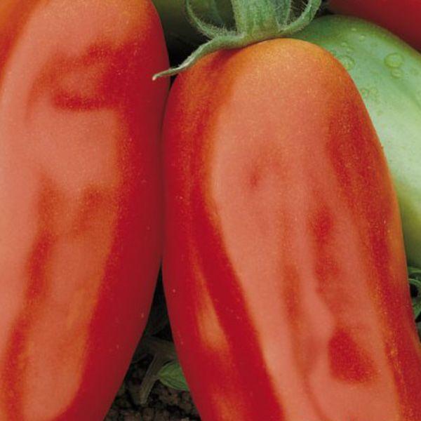 Tomatplantor, plommontomat San Marzano - PLANTOR FÖR KÖKSTRÄDGÅRDEN - Plantor - Klostra