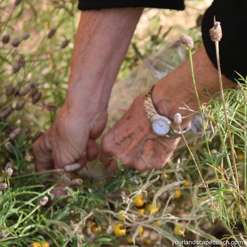 Seed picking, how to collect seeds.