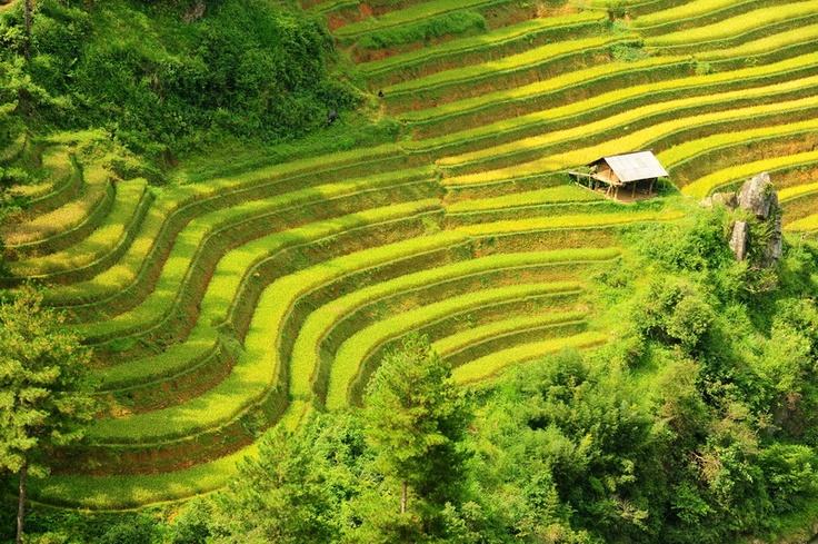 The terrace rice field at the harvest time in Mu Cang Chai.
