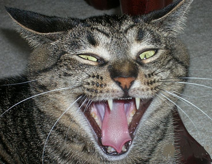 Cats that are in extreme pain can become aggressive
