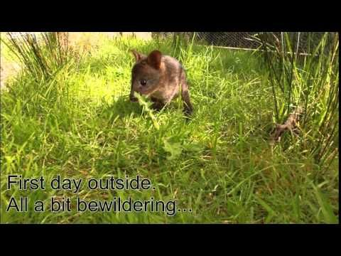 Orphaned Wallaby Joey, First Day Out at Huon Bush Retreats