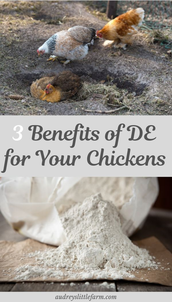 3 Benefits of Using Diatomaceous Earth for Chickens Dust