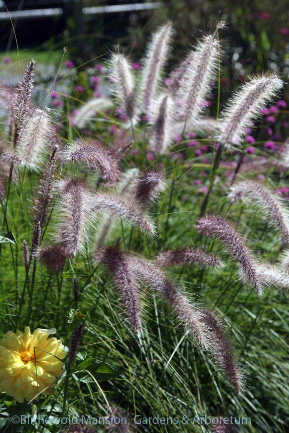 Fountain grass (Pennisetum setaceum)