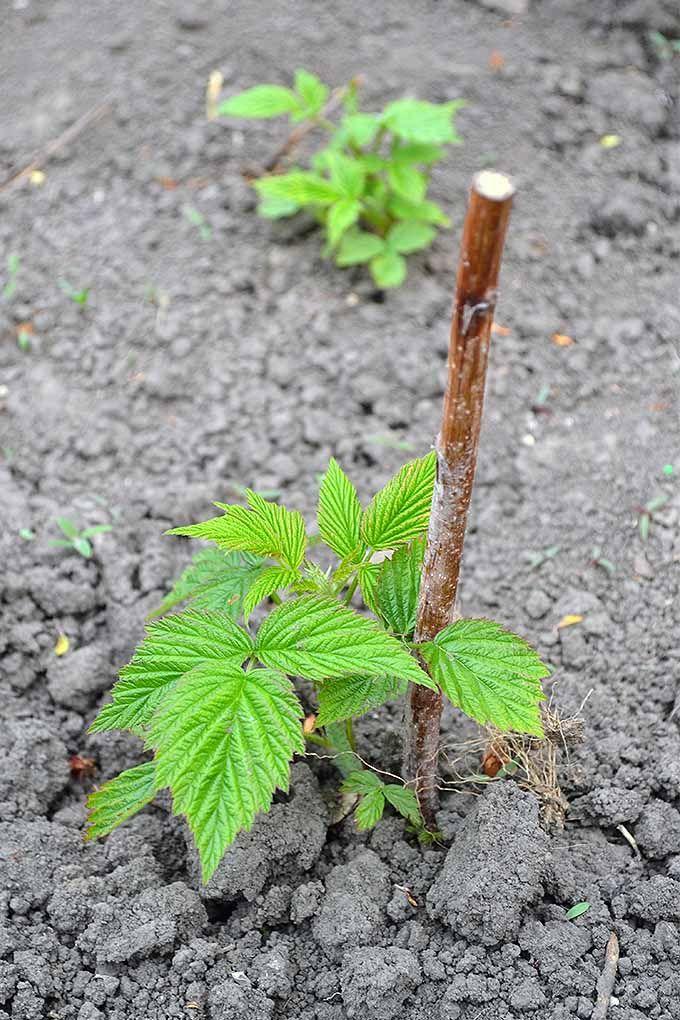 How To Grow Your Own Raspberries Gardener S Path Growing Raspberries Raspberry Plants Berry Garden