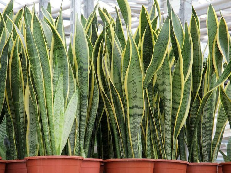 Sansevieria trifasciata 'Laurentii' (Striped Mother-in-law's Tongue) is a tall robust plant up to 3 to 4 feet (1.2 m) tall with a tight...