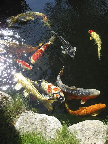 Koi Ponds require healthy, clean, water. Get the right balance with Organic Pond dyes and cleaners!  www.organicpond.com