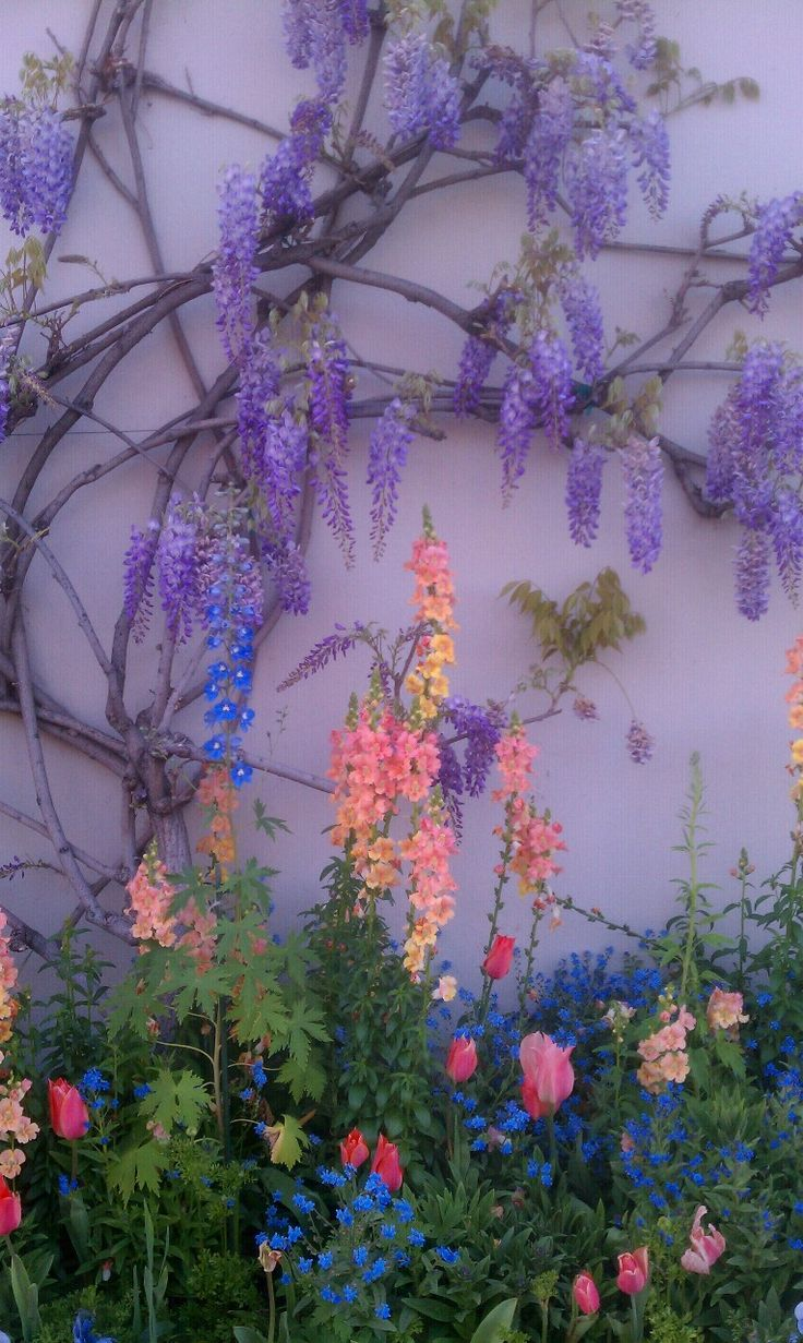 Light purple wall is the back drop for the beautiful Wisteria!