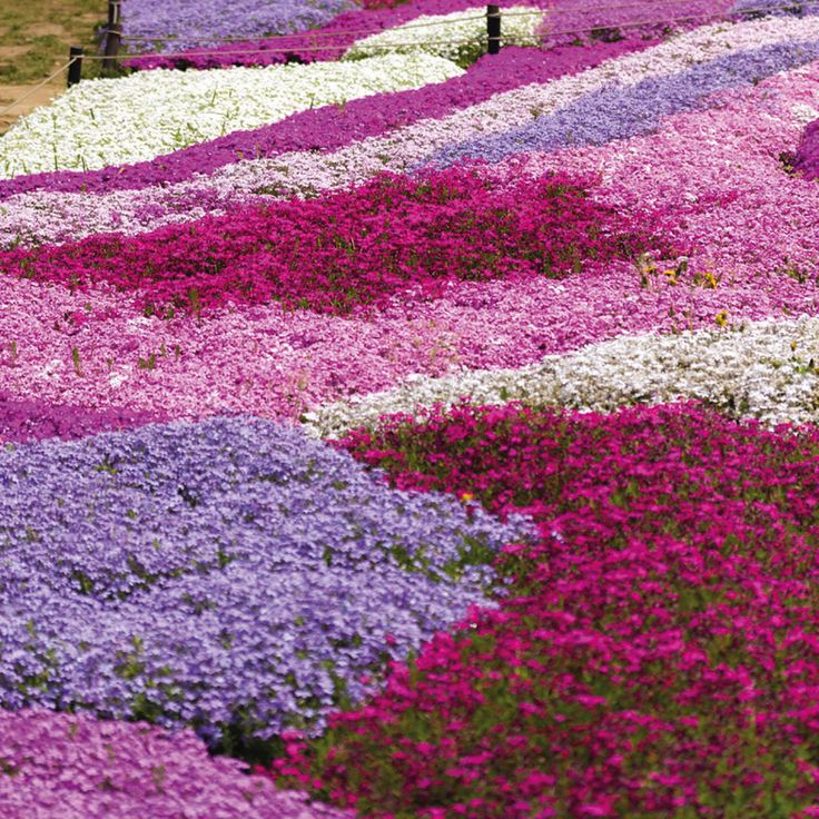 Phlox Collection (Creeping) - Perennial & Biennial Plants - Thompson & Morgan