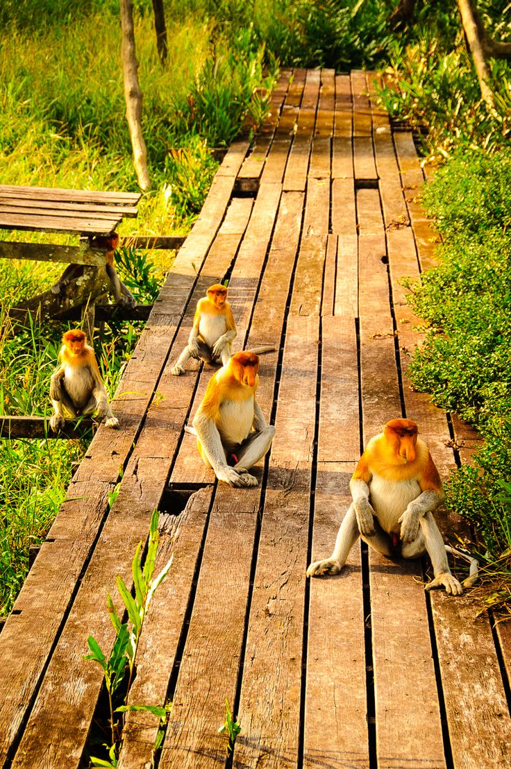 Labuk Bay Proboscis Monkey Sanctuary, Borneo
