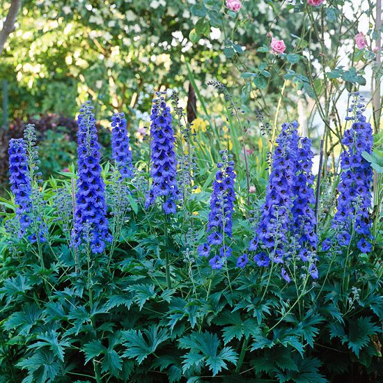 Delphinium  Producing stately spires in shades of purple, blue, pink, and white, delphiniums are about as regal as garden flowers come.