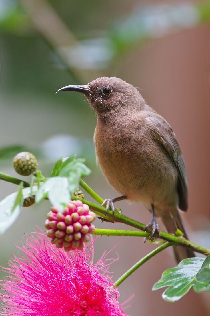 232 best honeyeaters images on pinterest beautiful birds