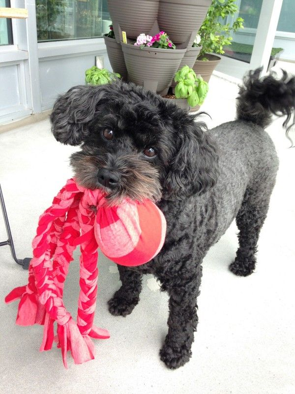 DIY dog toys - make this easy no sew ball and tug toy from an old t-shirt and tennis ball!