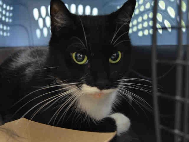 """VANYC - A1097454 - - Brooklyn  Please Share:***TO BE DESTROYED 11/26/16***HEALTHY 4 YEARS OLD…SURRENDERED DUE TO """"PERSONAL PROBLEMS""""…GENTLE…SHY -  Click for info & Current Status: http://nyccats.urgentpodr.org/vanyc-a1097454/"""