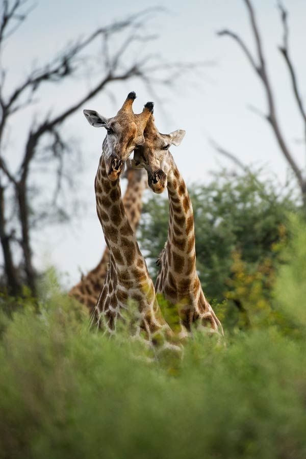 Giraffes are cool, aren't they? (32 photos)