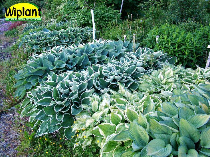 Hosta. Olika sorters funkior passar också utmärkt i kruka på terass/balkong. Prydande blad och lila blommor i juli.