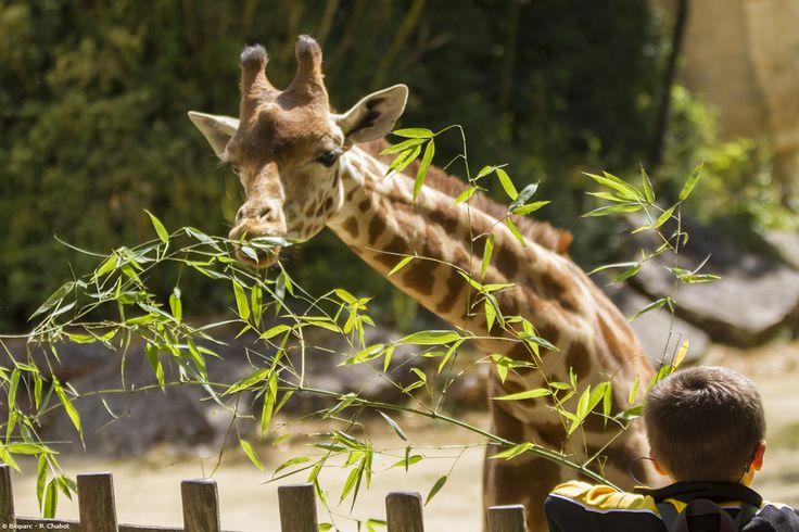 Le goûter est un moment très attendu par nos girafes mais aussi par nos visiteurs qui peuvent leur tendre quelques feuilles de bambou.