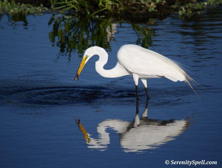 276 Best Herons Images On Pinterest Herons Birds And Bird