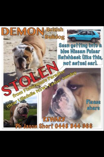 ‪#‎STOLEN‬ British Bulldog ‪#‎Ulladulla‬ ‪#‎NSW‬ http://ow.ly/4mL75i  ‪#‎BringDemonHome‬ ‪#‎LostDog‬ ‪#‎Missing‬ #FishermansParadise ‪#‎SouthCoast‬  Demon the ‬#BritishBulldog stolen from Fishermans Paradise near Ulladulla, last seen being put in a small blue hatchback. If you think you have seen them, please contact POLICE IMMEDIATELY. Large Rewar...