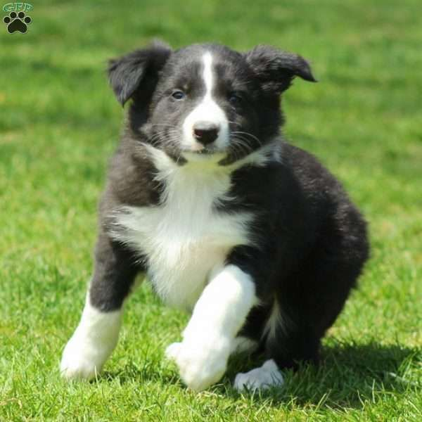 Puck Border Collie Puppy For Sale In Pennsylvania Border
