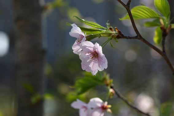 オオシマザクラ,大島桜,Prunus Iannesiana var.sp...  Found o