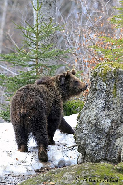 # WILD LIFE // BEAR
