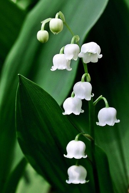 Lily of the Valley - used to grow in my mom's side garden.  I so loved when they were blooming...