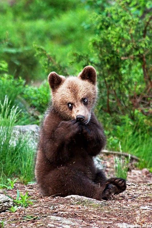 Boz ayı yavrusu