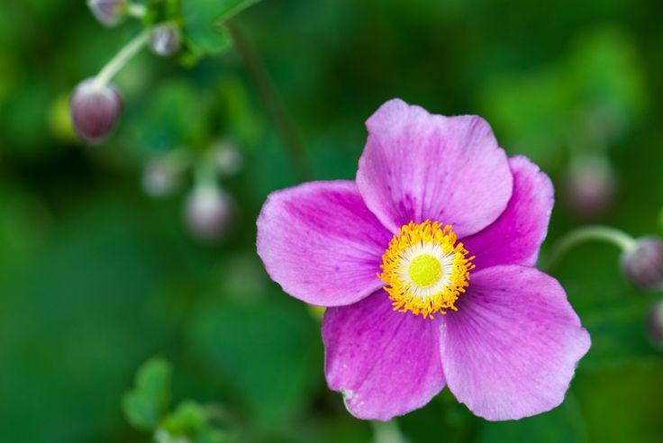 anemone bowles purple | Gartenzauber | Herbstanemone (Anemone japonica, Anemone hupehensis ...