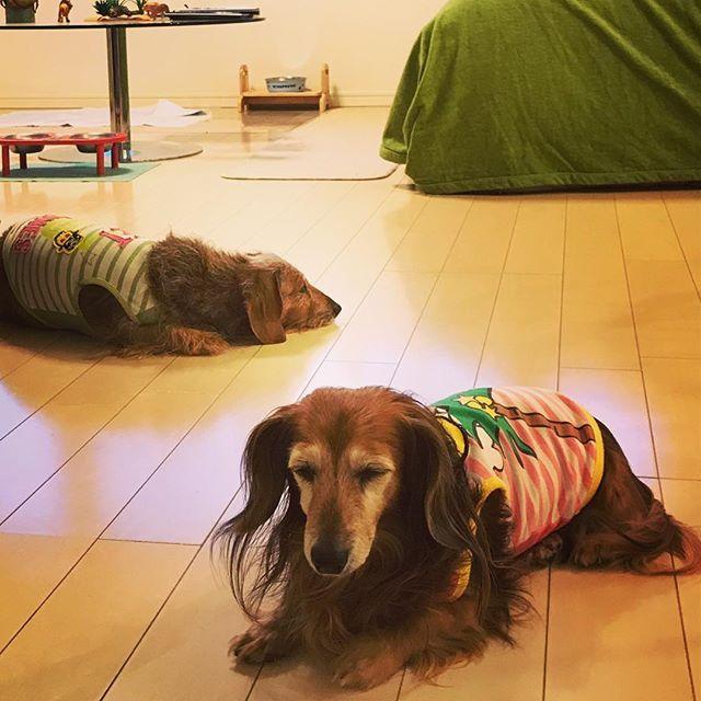 ケンカ中…ふーんだ #ダックスフント #ミニチュアダックスフント #ダックス #ロングヘアー #ワイヤーヘアー #短足部 #犬 #愛犬 #犬バカ #Dachshund #dog #japan