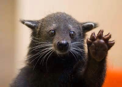 Binterong (bearcat)
