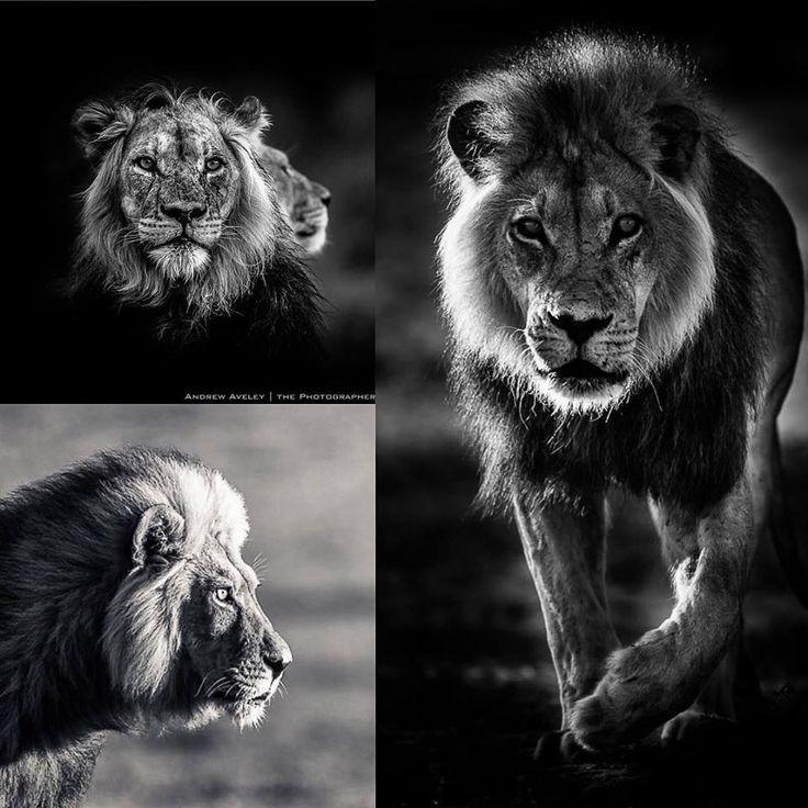 The Three Kings of the Kalahariby #wildographer Andrew Aveley