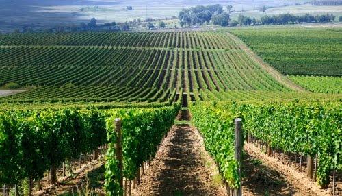 Shade on the rows of vine - Árnyék a szőlősorokon - Tarcal - Hungary Tokaj-Hegyalja