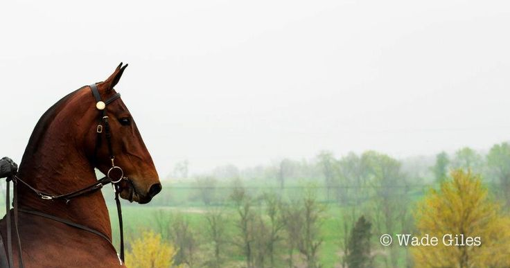 Ch Sue-She. Saddlebred. Ugh the face, the neck, the shoulders, those ears <3