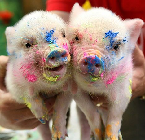 Pigasso: The little oinks making a splash in the art world.  Staff at Pennywell Farm in Buckfastleigh, Devon, have taken a novel approach to fundraising as they turn their pigs into painters.  Their miniature pigs have been creating works of modern art which sell for up to £16 each and have so far raised more than £150 for the Farm Crisis Network charity.  June 2007