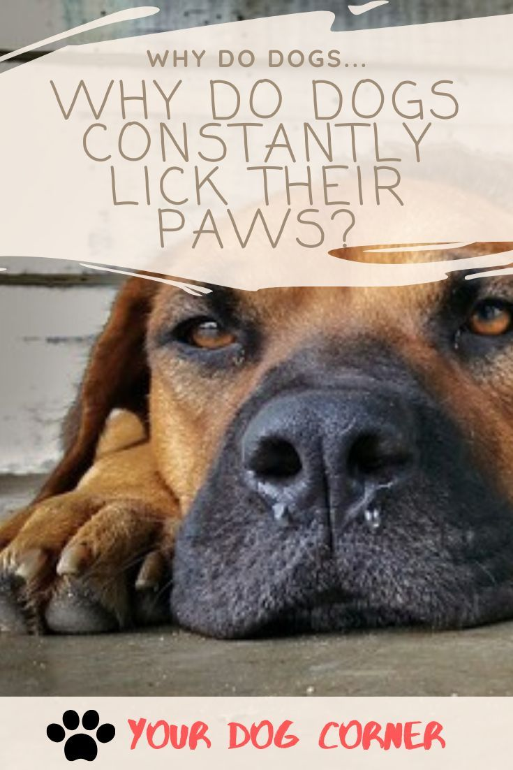 WHY DO DOGS CONSTANTLY LICK THEIR PAWS? - Dog Corner in 2020 | Why dogs lick,  Dogs, Dog corner
