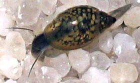 28 best Bladder Snails images on Pinterest   Snails ...