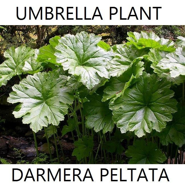 Botanical Name: Darmera peltata. Darmera peltata, commonly called umbrella plant, is thick-rhizomed perennial which typically grows 3-5' tall and is native to mountain stream banks and woodlands from southwestern Oregon to northern California. | eBay!