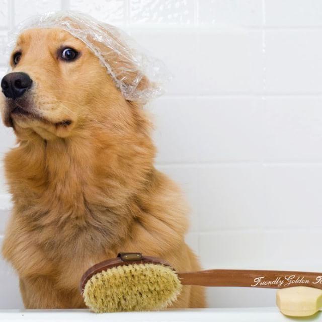 A Golden Retriever Dog Preparing For A Bath He Has An Unhappy