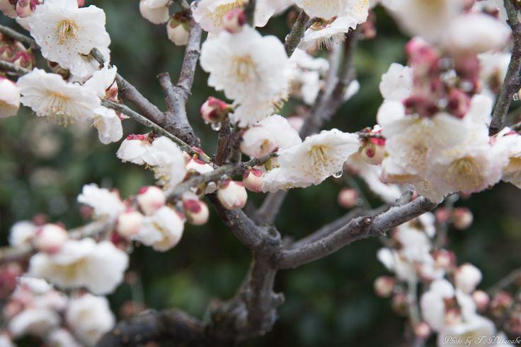 Fujiidera-shi, Ōsaka-fu, Japanで撮影された写真 梅の花 : パシャデリック