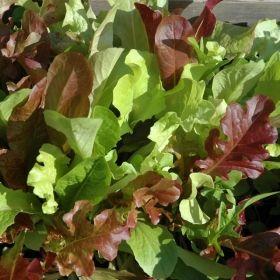 Plocksallatsblandning 'GOURMET' En mix av flera olika sallatstyper för skörd av späda babyblad. Grön och rödbladiga i flera nyanser, eklöv, krusbladiga m.fl. 36kr