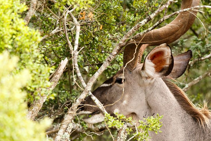 Greater Kudu with his head between the branches Greater Kudu with his head between the branches in the field.