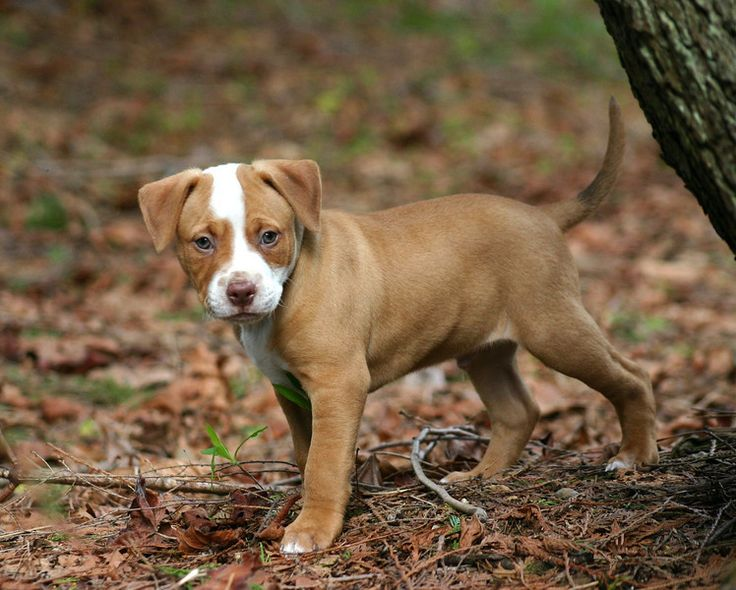 Cute Brown Pitbull Puppies | www.pixshark.com - Images ...