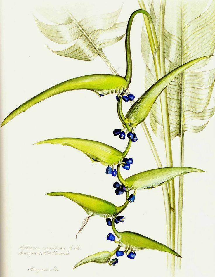 Heliconia chartacea var. meeana.  Ilustração de Margaret Mee. Amazonas, Rio Uapés.