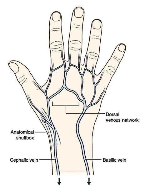 dorsal venous arch of hand drains into cephalic and basilic veins  MD stuff  Hands Phlebotomy
