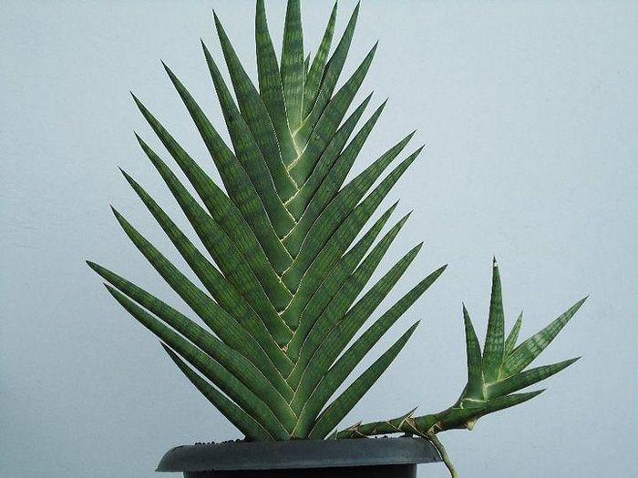 SANSEVIERIA - Кактусы, др. суккуленты, растения и цветы.