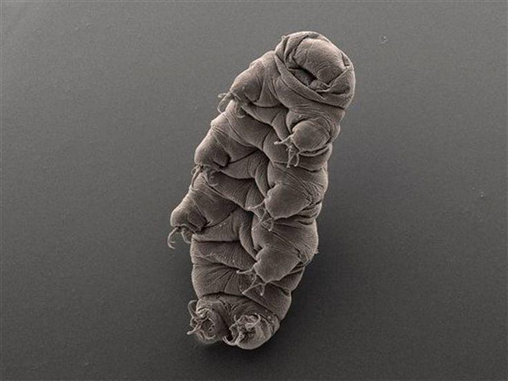 """Esta fotografía sin fecha difundida por Bob Goldstein y Vicki Madden, la cual fue tomada con un microscopio electrónico, muestra un animal microscópico """"tardígrado"""", también conocido como oso de agua, en la Universidad de Carolina del Norte en Chapel Hill, Carolina del Norte. En enero de 2015, científicos hallaron el ADN de un tardígrado en el Lago Vostok de la Antártida, ubicado en un área considerada el lugar más remoto de la Tierra. Ese lago, de agua salada en su mayor parte, se encuentra…"""
